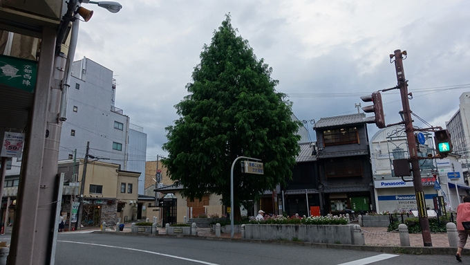北野下り松 No1