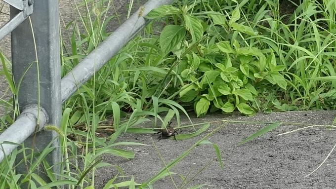 赤山禅院 カブト虫