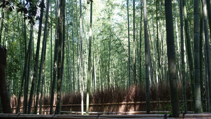 野宮神社 竹林の小径No2