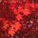 光明寺(長岡京市) 紅葉の特別入山