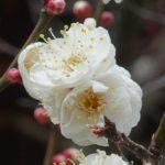 北野天満宮 梅花祭2018