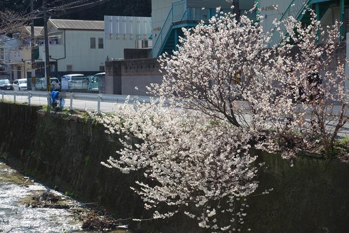 京都桜速報2018_01 No18