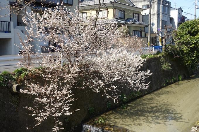 京都桜速報2018_01 No19