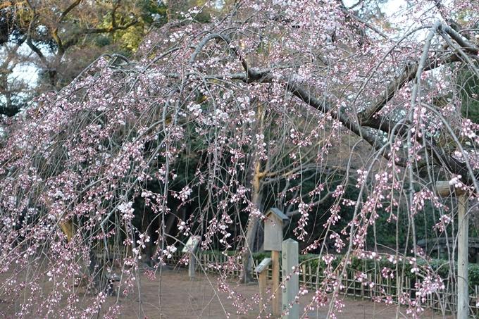 京都桜速報2018_01 No8