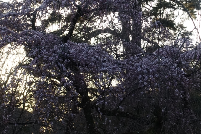 京都桜速報2018_01 No11