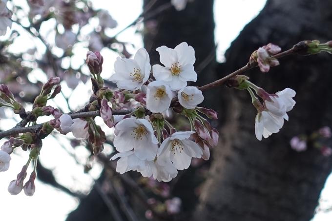 京都桜速報2018_03 No15