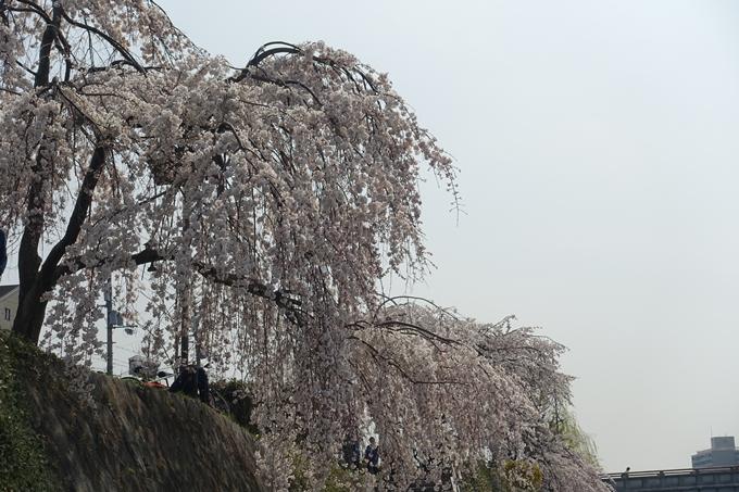京都桜速報2018_05 No60