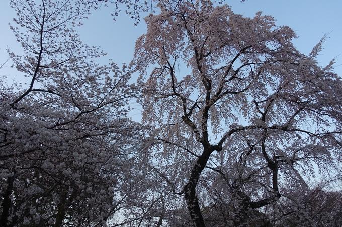 京都桜速報2018_07 No15