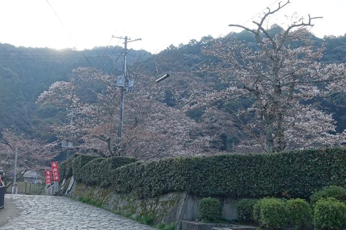 京都桜速報2018_08 No20