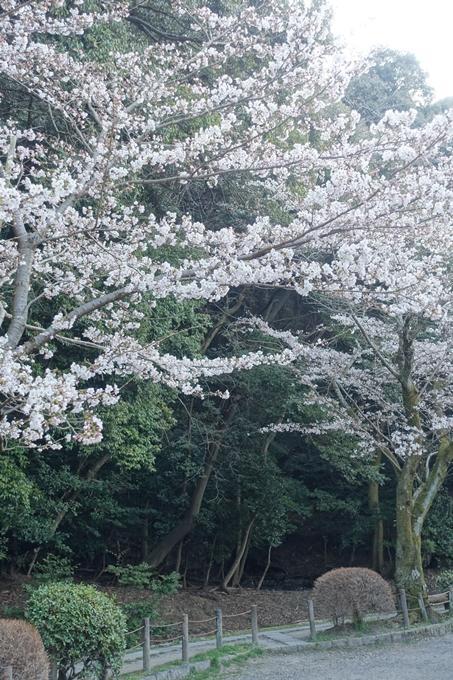 京都桜速報2018_08 No24