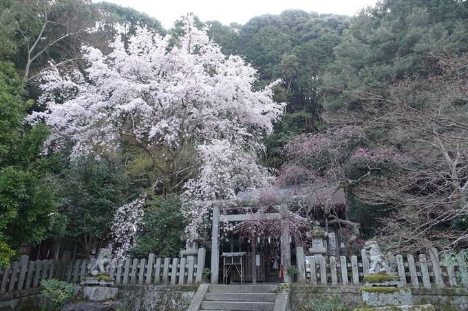 京都桜速報2018_08 No29
