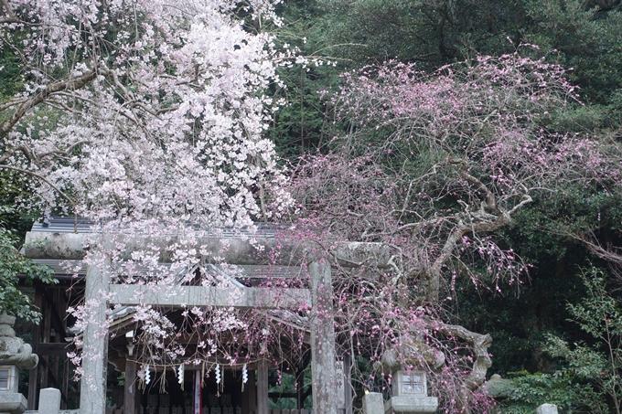 京都桜速報2018_08 No30