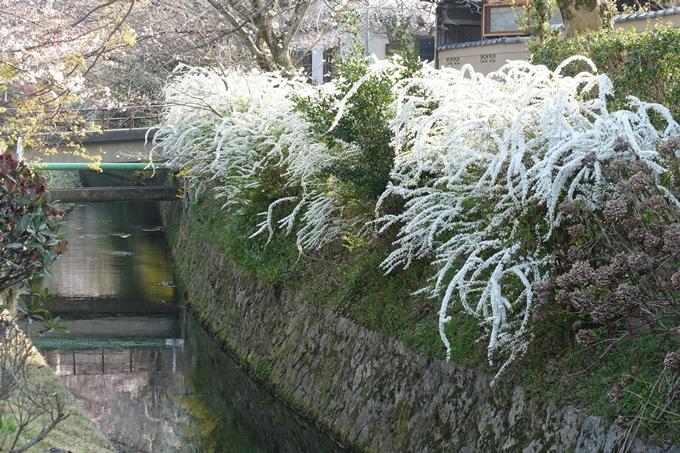 京都桜速報2018_08 No40