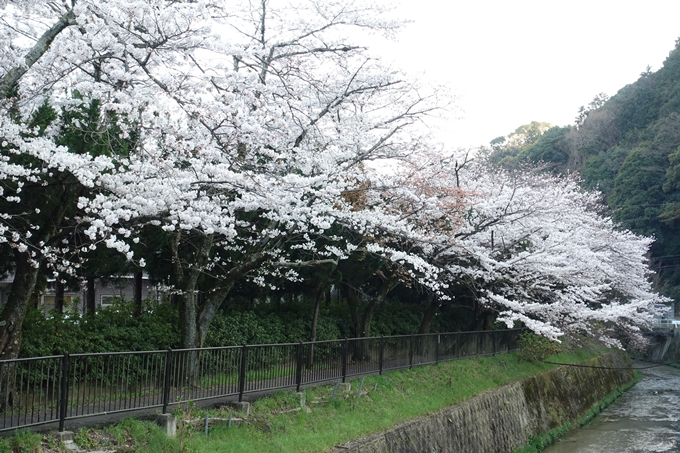 京都桜速報2018_09 No2