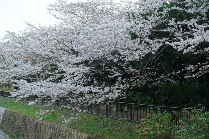 京都桜速報2018_09 No3