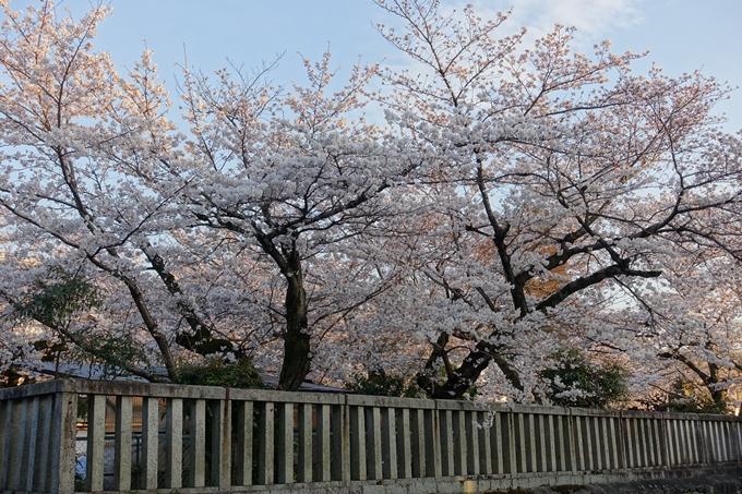京都桜速報2018_09 No13