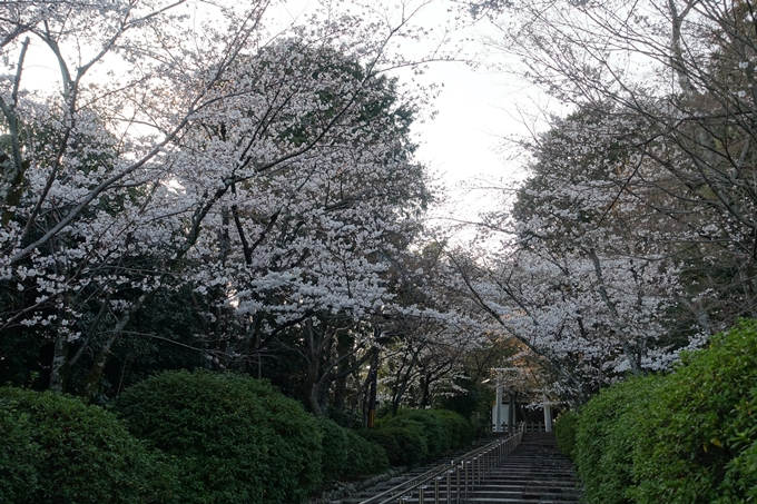 京都桜速報2018_09 No16