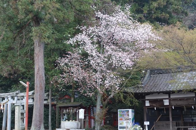 京都桜速報2018_10 No6