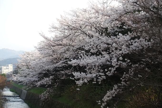 京都桜速報2018_10 No58