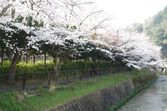京都桜速報2018_10 No59
