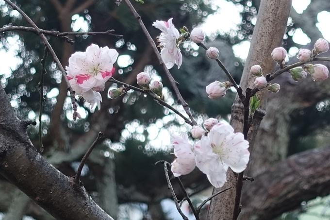 京都桜速報2018_11 No41