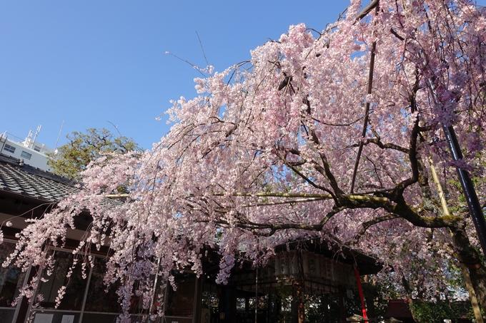 京都桜速報2018_11 No49