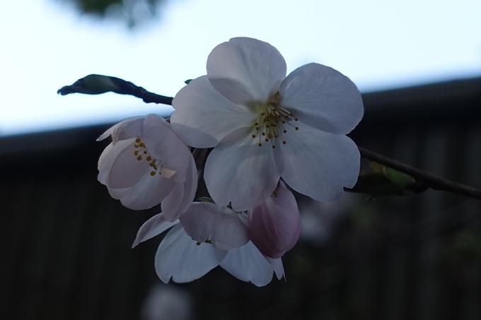 京都桜速報2018_11 No54