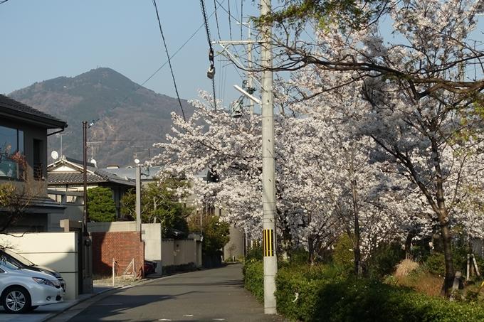 京都桜速報2018_11 No61