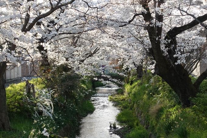 京都桜速報2018_11 No64