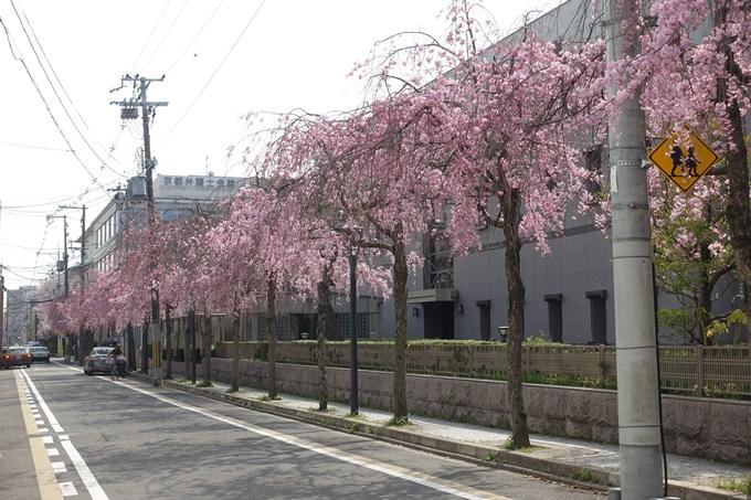 京都桜速報2018_12 No8