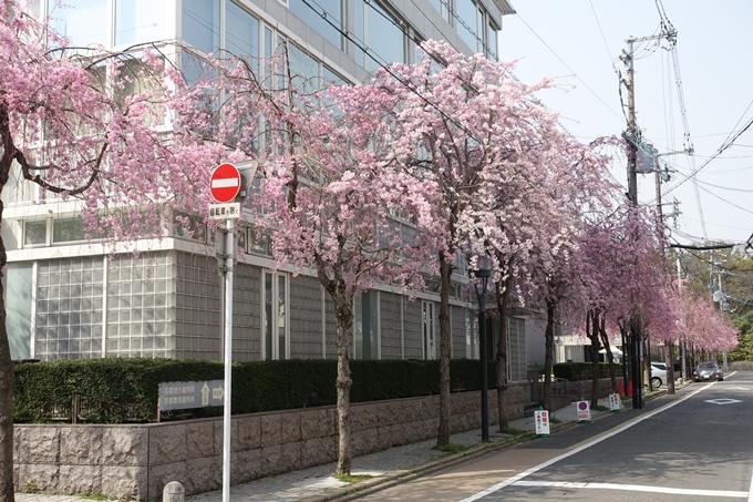 京都桜速報2018_12 No11