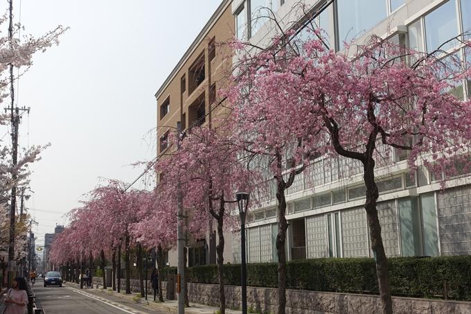京都桜速報2018_12 No12