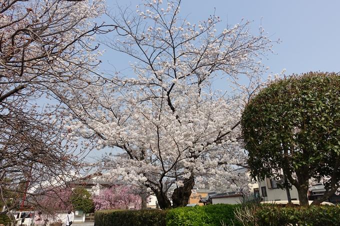 京都桜速報2018_12 No22