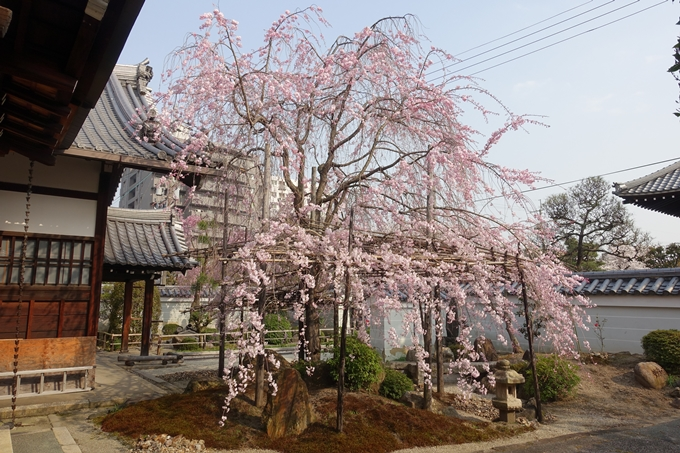 京都桜速報2018_12 No35