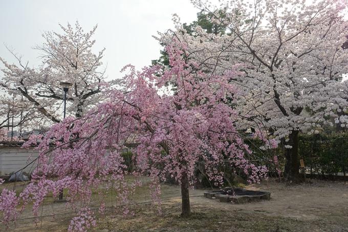 京都桜速報2018_12 No43