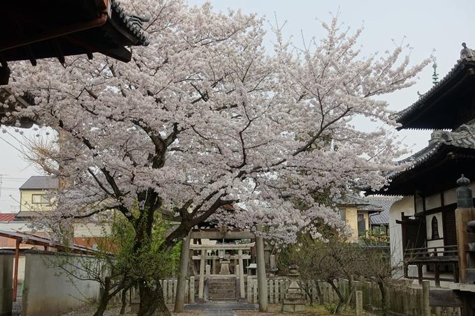 京都桜速報2018_12 No49