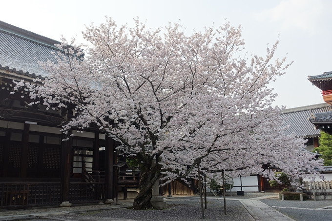 京都桜速報2018_12 No52