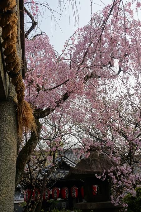 京都桜速報2018_12 No61