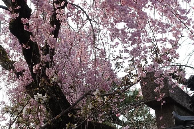 京都桜速報2018_12 No64