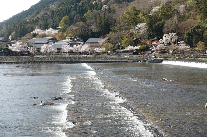 京都桜速報2018_13 No25