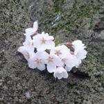 京都地方気象台 2018年桜開花宣言