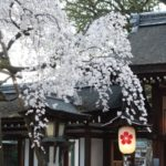 京都桜速報2018 その7 千本釈迦堂~平野神社