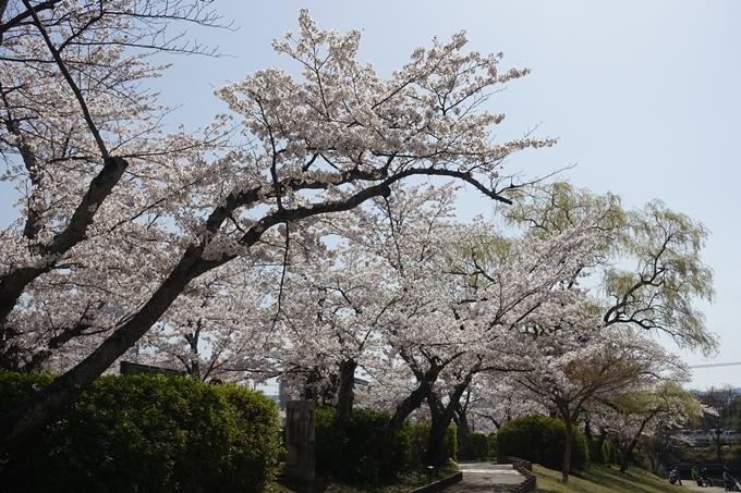 京都桜速報2018_15 No11