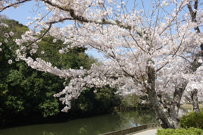 京都桜速報2018_15 No13