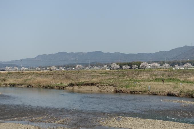 京都桜速報2018_16 No17