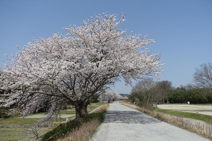 京都桜速報2018_16 No24