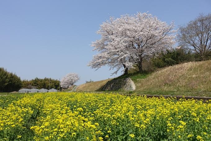 京都桜速報2018_16 No27