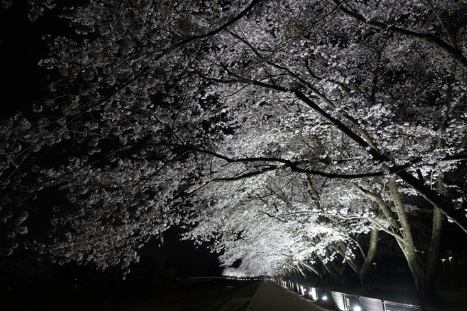 京都桜速報2018_19 No12