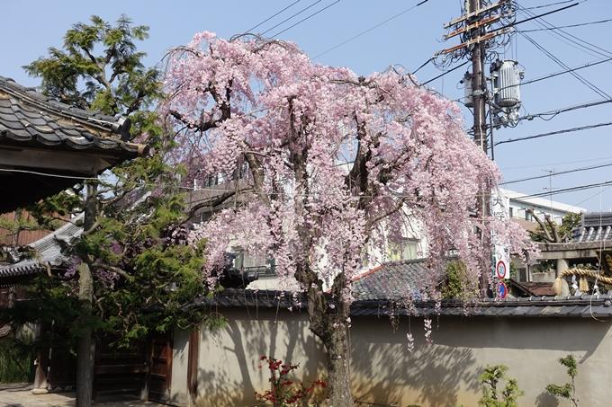 京都桜速報2018_14 No30