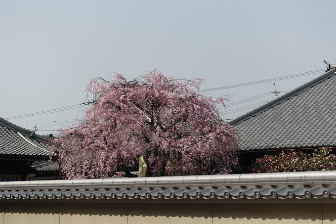 京都桜速報2018_14 No32